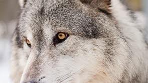 diois-le-loup-frappe-trois-fois-17-brebis-devores